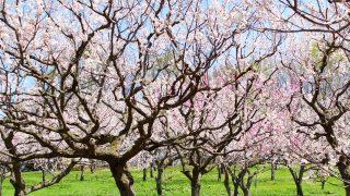 2019年 関東の梅まつりをご紹介します!