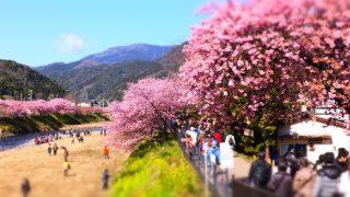 2019年河津桜まつりを見に行こう!